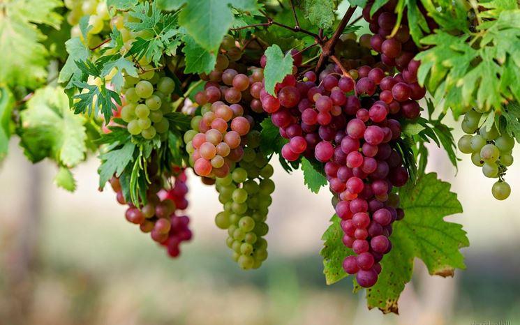 Un consumo moderatodi vinorosso aiuta la salute dell'intestino