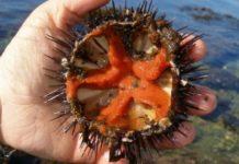 Dai ricci di mare nuove prospettive di cura per i disturbi cardiovascolari