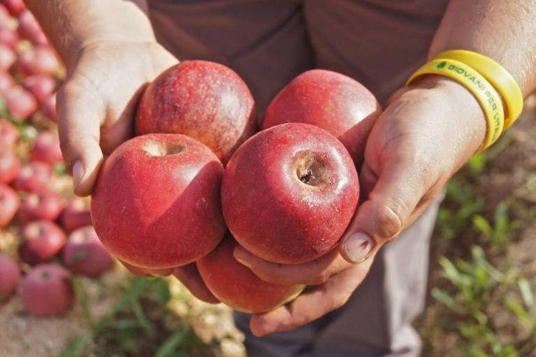La Mela Annurca Campana: storia e proprietà salutari