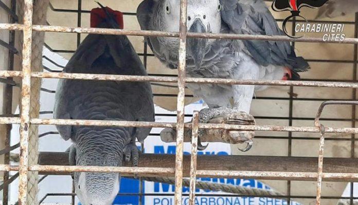 Procida, pappagalli in gabbia troppo piccola: denunciato il titolare di un lido