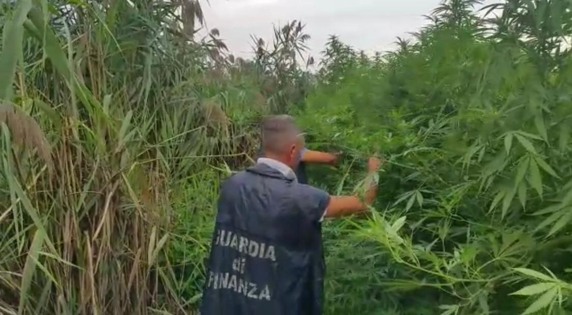 Nola, GdF sequestra estesa piantagione di cannabis: cinque denunciati