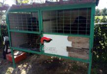 Sant'Anastasia, rottweiler in gabbie per uccelli: 35enne denunciato dai Carabinieri