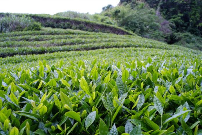 Tè verde, i benefici di una bevanda considerata un ottimo antibatterico naturale