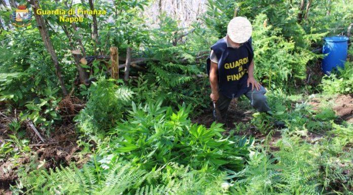 Lettere: GdF scopre due piantagioni di cannabis dietro una fitta vegetazione