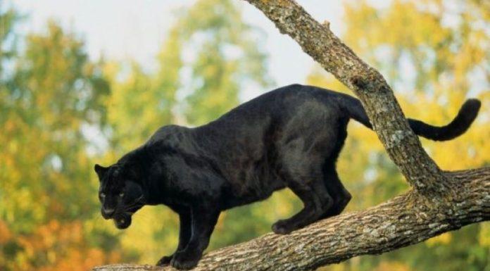 Grottolella, è stata avvistata una pantera: trovati resti di un cinghiale
