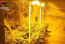 Casoria, scoperta serra di marijuana in un'abitazione: un arresto - IL NOME