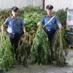 Sessa Aurunca, scoperta piantagione di marijuana: 3 arresti