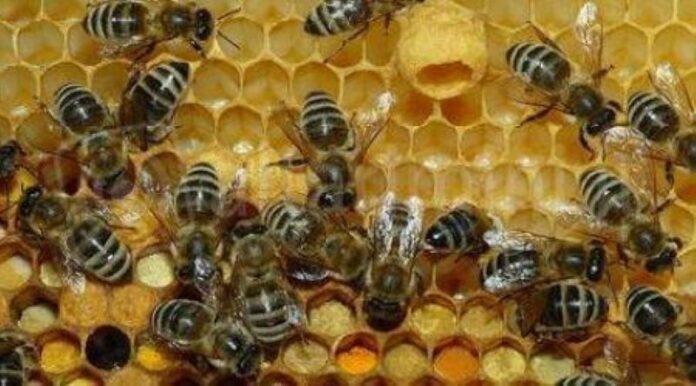 Sarno, travolto da uno sciame di api: morto agricoltore 65enne