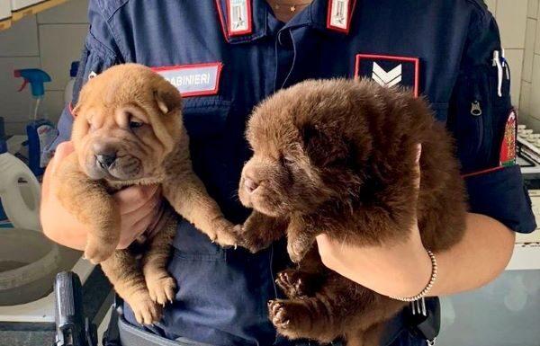 Mariglianella, Carabinieri sventano maltrattamenti sugli animali: salvati 13 cani