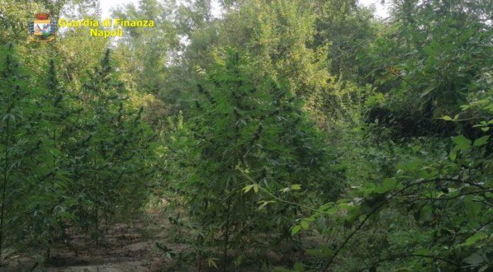 Napoli, GdF sequestra 80 piante di marijuana: arrestato un 27enne
