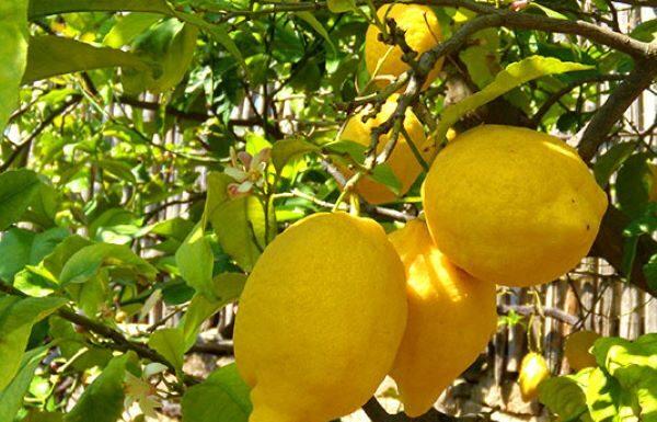Alimentazione: l'utilità del limone per abbassare il colesterolo