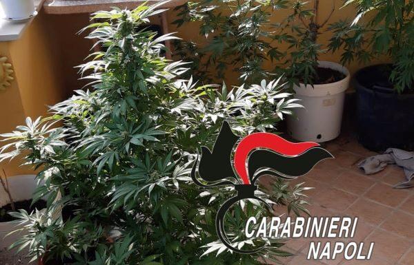 """Calvizzano, 45enne coltiva marijuana """"per scherzo"""" ma viene arrestato: IL NOME"""