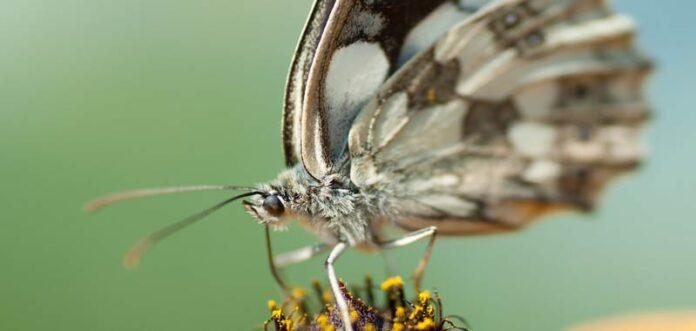 A Chernobyl scoperta farfalla mutata geneticamente delle dimensioni di un uccello