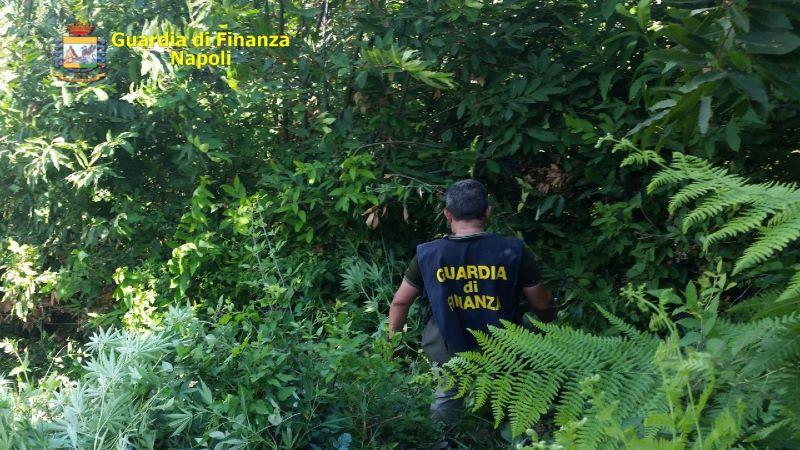 Pianura, la Guardia di Finanza sequestra 50 piante di marijuana: tre denunce