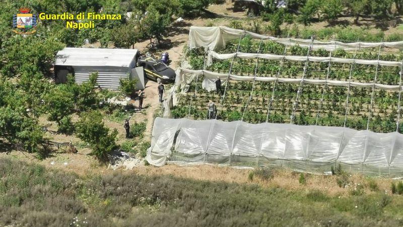 Giugliano e Quarto, GdF sequestra 3159 piante di cannabis: due arresti