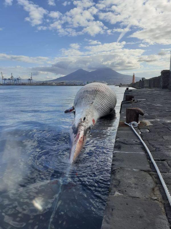 Sorrento, balenottera spiaggiata: trasferita a Napoli per necroscopia