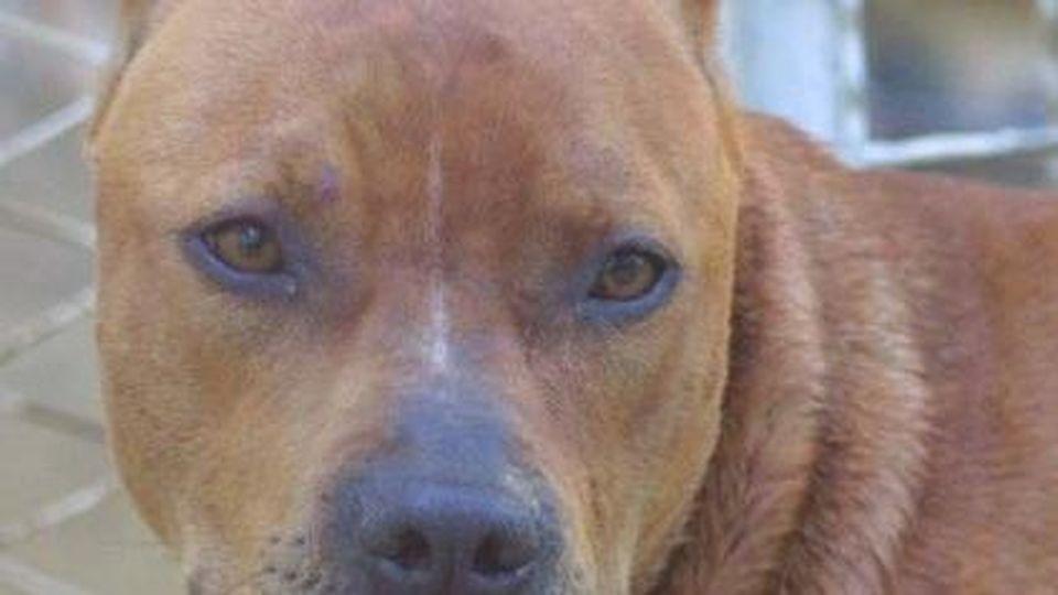 Padula, 60enne azzannato da un pitbull per difendere il cane