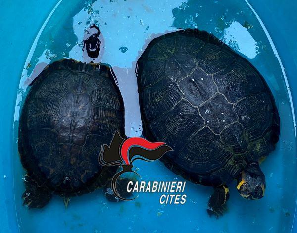 Napoli, in giro nella Pignasecca con due tartarughe di specie protetta: multato un 50enne
